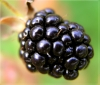 Ежевика (Blackberry)